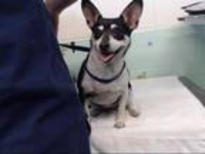 Adopt LUCY a Black - with White Rat Terrier / Mixed dog in Sacramento