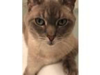 Adopt Luigi a Gray or Blue (Mostly) Siamese cat in New York, NY (25253786)