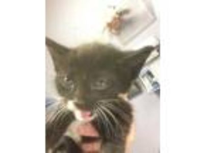 Adopt Brownie a All Black Domestic Longhair / Domestic Shorthair / Mixed cat in