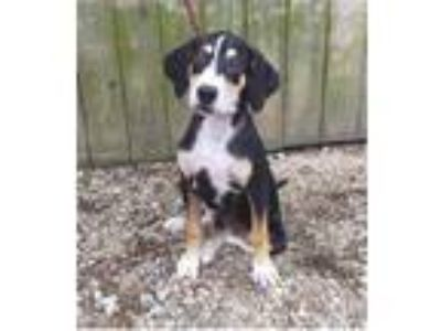 Adopt Benson a Hound (Unknown Type) / Mixed dog in Pittsburgh, PA (25907145)