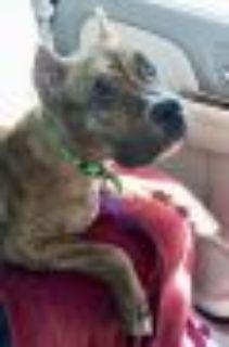Poppy American Staffordshire Terrier - Pit Bull Terrier Dog