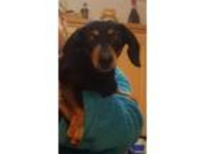 Adopt Lucy a Black - with Tan, Yellow or Fawn Dachshund / Mixed dog in Weston
