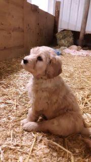 Goldendoodle PUPPY FOR SALE ADN-111293 - Holly