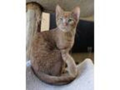 Adopt Gutsy a Orange or Red Domestic Shorthair / Domestic Shorthair / Mixed cat