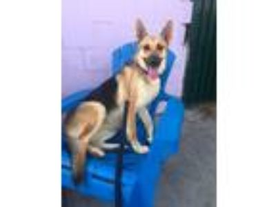 Adopt Lola a German Shepherd Dog