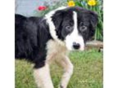 Adopt Kade a Black - with White Border Collie dog in Breignsville, PA (25337978)
