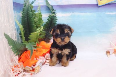 Yorkshire Terrier - Bebe - Female