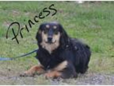 Adopt Princess a Black - with Brown, Red, Golden, Orange or Chestnut Cocker