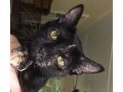 Adopt Amber a Tortoiseshell Domestic Shorthair / Mixed (short coat) cat in