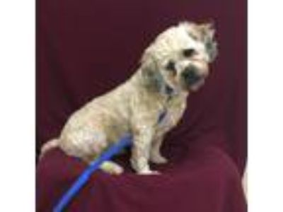 Adopt Gator a Tan/Yellow/Fawn Shih Tzu / Mixed dog in Tampa, FL (25582249)