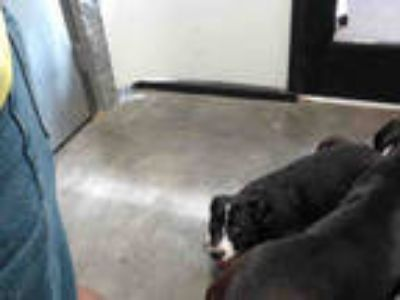 Adopt CARA a Black - with White American Pit Bull Terrier / Mixed dog in Tulsa