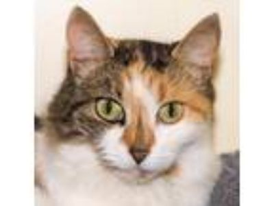 Adopt Emmalyn a White Domestic Longhair / Domestic Shorthair / Mixed cat in