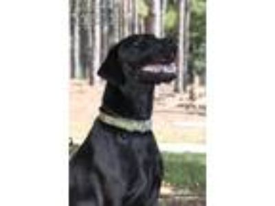 Adopt Sadie Grey a Black Labrador Retriever / Greyhound / Mixed dog in Minneola