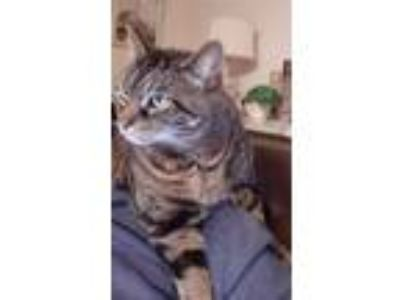 Adopt Grover a Tan or Fawn Tabby American Shorthair cat in Glenville