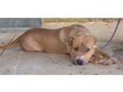 Adopt Lacey a Tan/Yellow/Fawn - with White Terrier (Unknown Type