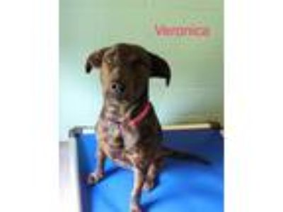 Adopt Veronica a Brindle Hound (Unknown Type) / Mixed dog in Mohawk