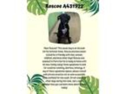 Adopt MACK a Black - with White American Pit Bull Terrier / Mixed dog in