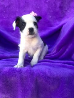 Boston Terrier-Bossi-Poo Mix PUPPY FOR SALE ADN-87440 - Take Home Addie TODAY