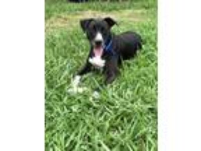 Adopt Abby a Black - with White Shepherd (Unknown Type) / Pit Bull Terrier /