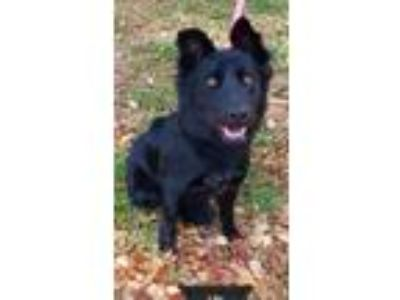 Adopt Lilo a Black Shepherd (Unknown Type) / Retriever (Unknown Type) / Mixed