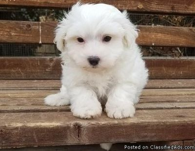 Adorable Bichon Frise Puppies Available Now..