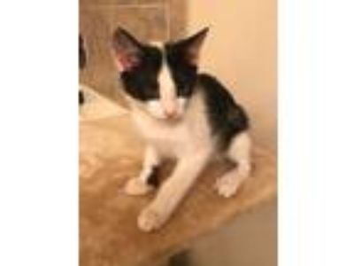 Adopt Ranger a Black & White or Tuxedo Domestic Shorthair (short coat) cat in