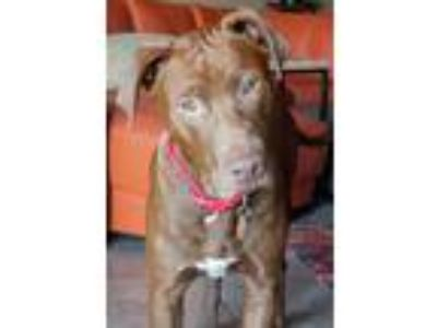 Adopt Drax a Brown/Chocolate Labrador Retriever / Mixed dog in Austin