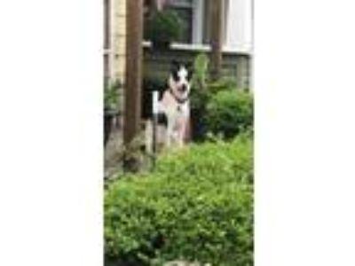Adopt Reygan a White - with Black Australian Cattle Dog / Mixed dog in Newburgh