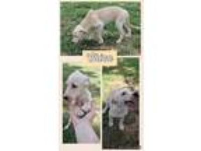 Adopt Chica a Tan/Yellow/Fawn - with White Labrador Retriever / Mixed dog in