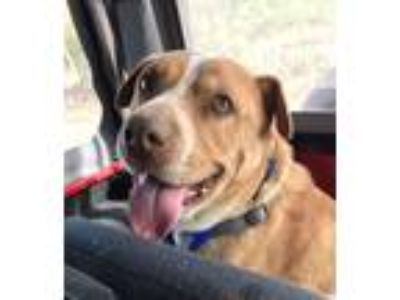 Adopt Champ a Red/Golden/Orange/Chestnut - with Black Shar Pei / Boxer / Mixed