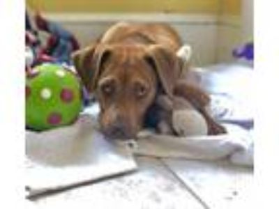Adopt Tully a Brown/Chocolate - with White Labrador Retriever / Mixed dog in