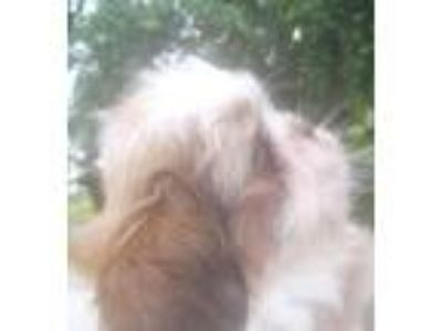 Precious Shih Tzu Puppy with PapersIf interested please Call/Text [phone...
