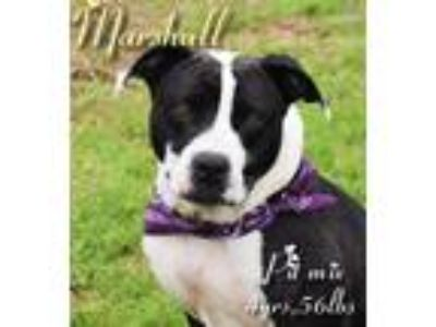 Adopt Marshall a Pit Bull Terrier