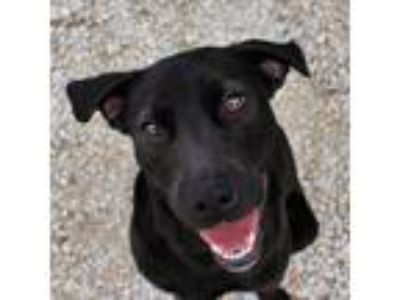 Adopt Rachel a Black Labrador Retriever / Mixed dog in LaHarpe, KS (25283006)
