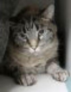 Cash Oriental Tabby - Siamese Cat