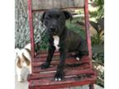 Adopt Ayana a Black - with White Boxer / Mixed Breed (Medium) / Mixed dog in