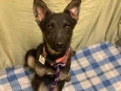Adopt *BUFFY a Black - with Tan, Yellow or Fawn German Shepherd Dog / Mixed dog