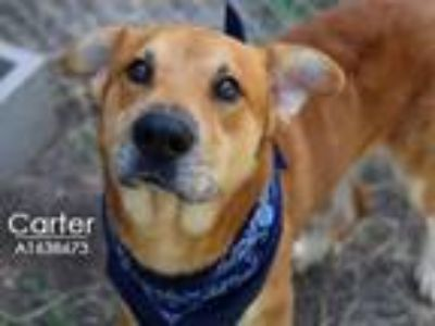 Adopt CARTER a Labrador Retriever, German Shepherd Dog