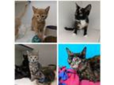 Adopt Cats and kittens available 6/25 or 6/26 or 6/28 a Domestic Shorthair /