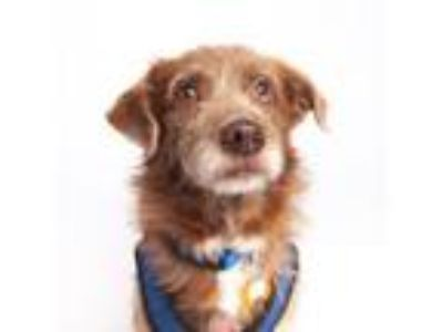 Adopt Henry a Terrier, Mixed Breed