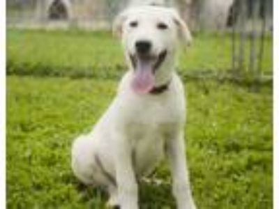 Adopt Puppy Andy a White Siberian Husky / Mixed dog in Harvard, IL (25118882)