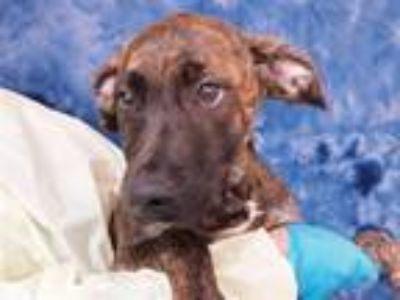 Adopt Penny a German Shepherd Dog, Mixed Breed