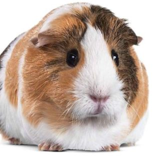 Looking for Guinea Pig Items