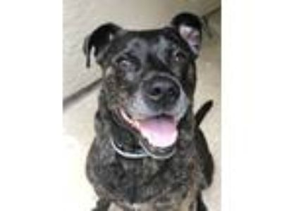 Adopt Moose a Brindle Labrador Retriever / American Pit Bull Terrier / Mixed dog
