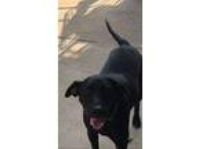 Adopt Jase a Black Dachshund / Labrador Retriever / Mixed dog in Powdersville