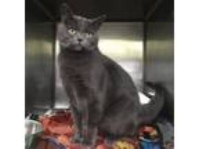 Adopt Smokey (Chow Hound Grand Haven) a Domestic Short Hair