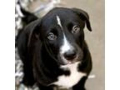 Adopt Nakota a Border Collie, Mixed Breed
