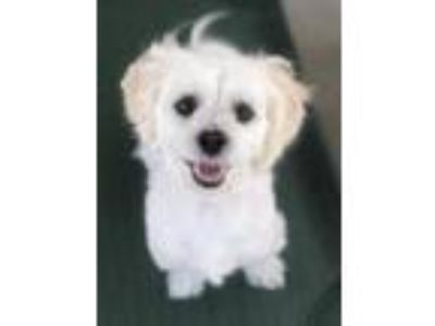 Adopt Bert a Shih Tzu, Mixed Breed