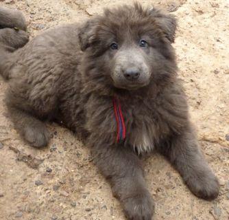 German Shepherd Dog PUPPY FOR SALE ADN-77991 - Longhaired