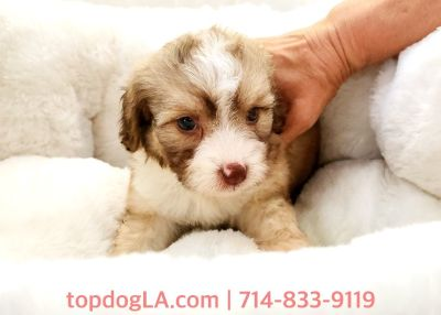 Cockapoo Puppy - Female - Whoopy ($1,250)